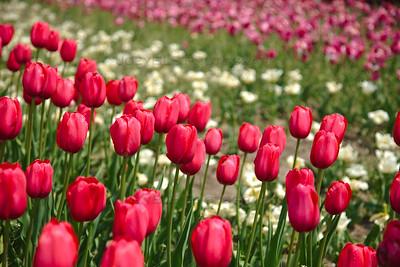 Holland Michigan Tulips - Tulip Time Festival