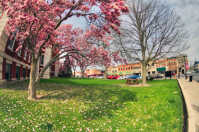 Spring Magnolia Tree in Downtown Crown Point