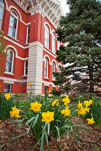 Spring Daffodils in Downtown Crown Point