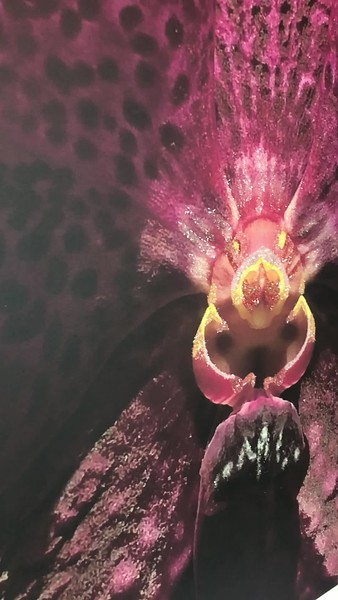 Purple Dot Orchid