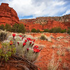 RedRock_CactusFlowers-1