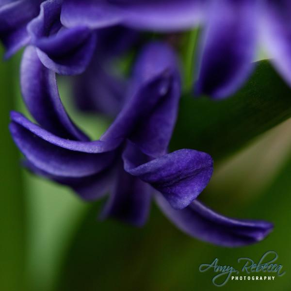 Purple Star_Square