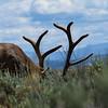 Yellowstone Elk_Square