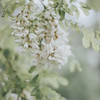 Locust Tree_Ohio_