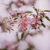 Pink Blossoms_