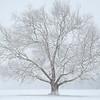 Snowy Tree_Ohio_8x12_16x24