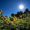 Sunflower Fields Forever_Ohio_