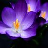 Purple Raindrops_