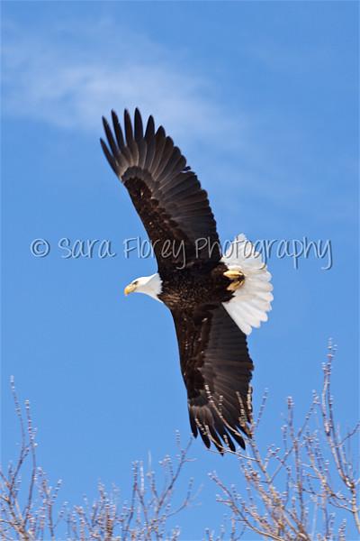 Bald Eagle 47