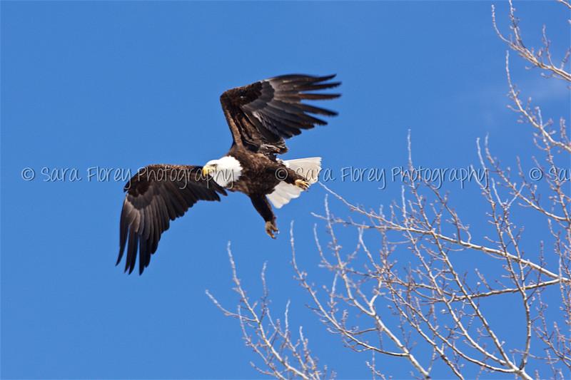 Bald Eagle 41