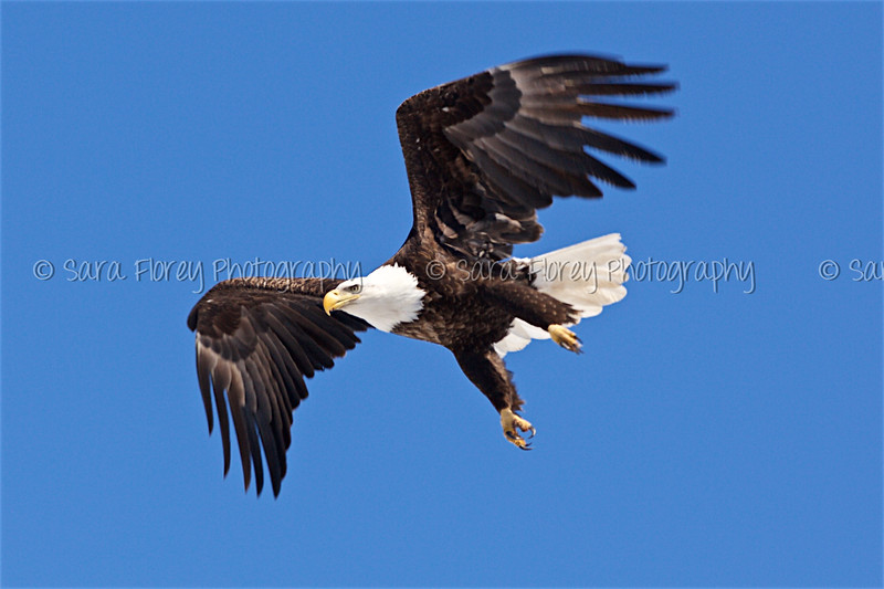Bald Eagle 42