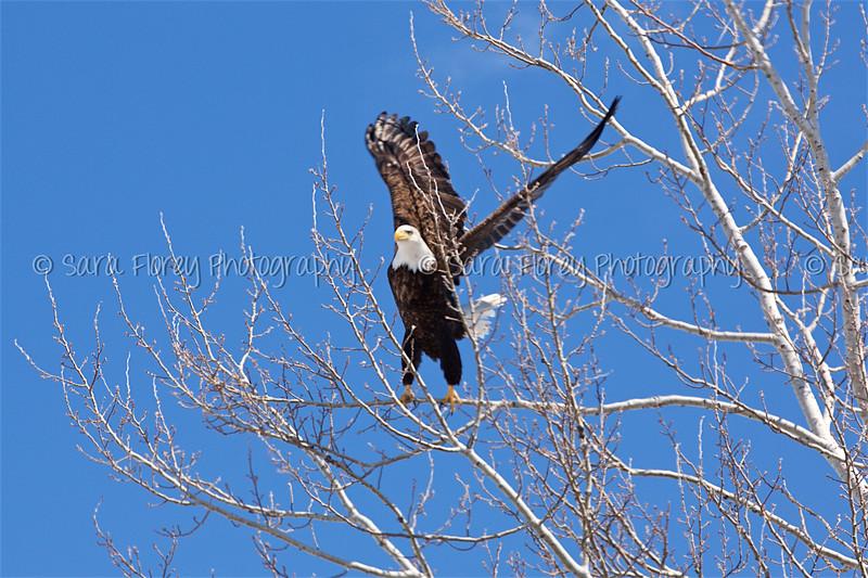 Bald Eagle 38