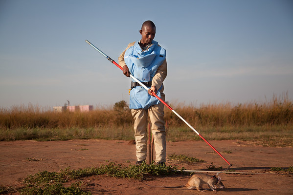 In 2000, after three years of work, Weetjens trained his first rats in Morogoro, Tanzania, through his company APOPO. Since then, landmine clearing rats have unearthed at least 3,212 mines, 1,077 UXOs (discarded bombs and grenades) and 26,934 small arms and ammunitions. They've worked in two of the world's most landmine infested countries: Mozambique and Angola. Eighteen more rats will soon be working in Cambodia One rat can clear up to 400 square meters a day. An engineer, with a metal detector, can only do 25 to 50 square meters
