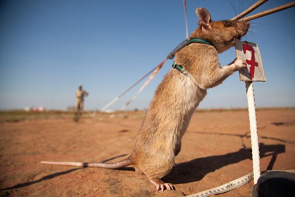 A Rat's World