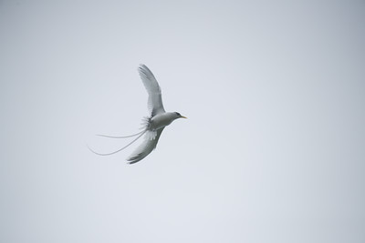 A white-tailed tropicbird flys through the mist over the jungle.