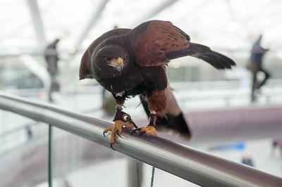 Hawk_008