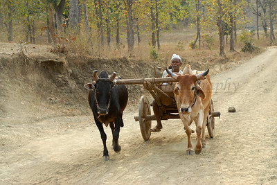 India: The bullock cart is one of the primary means of transportation in a village. Seen here is a villager returning home
