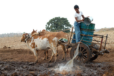 India: Watering the fields. Bullock carts are used to ferry water to the fields from the nearby village stream. Jan 2007.