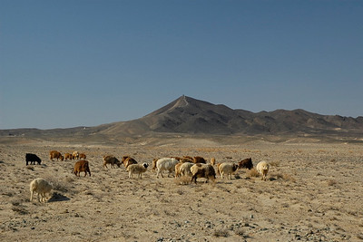 Cattle grazing in the Gobi desert. Mongolia.