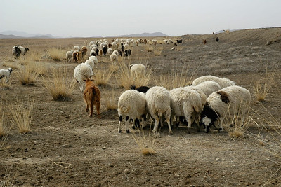 Grazing sheep and goats seen on the side of the long and empty roads on the Mongolian highway. On the road towards Erdene Zuu which is in Övörkhangai Province, in the town of Kharkhorin (near Karakorum).