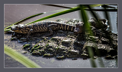 Baby alligators resting on mama's back