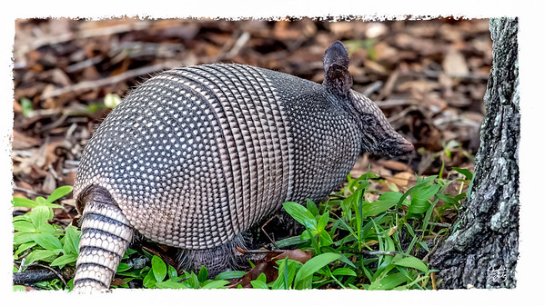 Armadillo in the woods