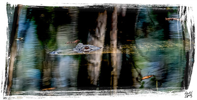 Alligator lurking in the swamp