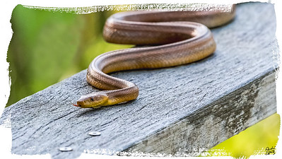 Yellow rat snake - corkscrew swamp