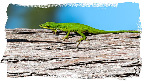 Green Anole on a tree in the corkscrew swamp
