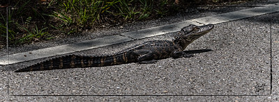 Baby Alligator on the road