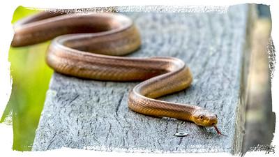 Yellow rat snake - corkscrew swamp