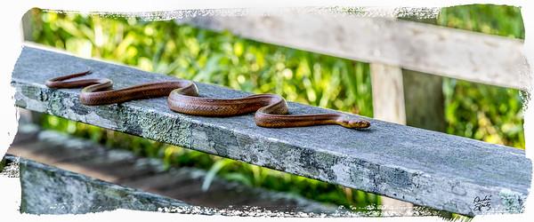 Yellow rat snake on the railing- corkscrew swamp