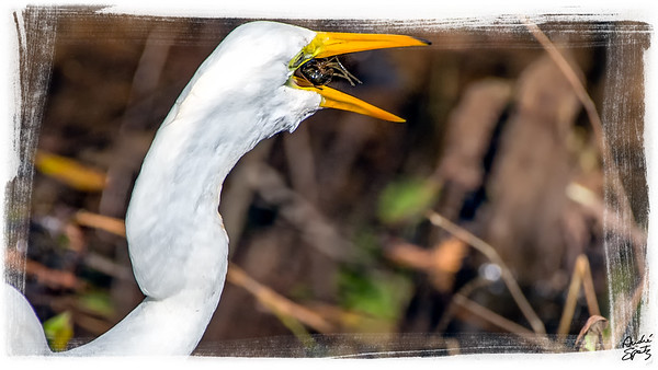 The Great Egret and the Crayfishg