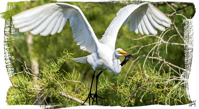 Great catch of the Great Egret