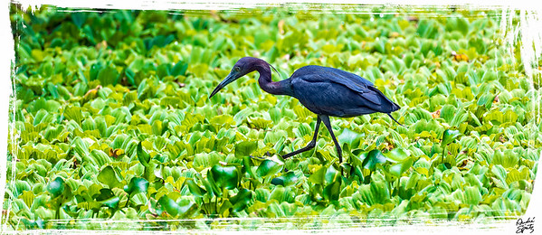 The Little Blue Heron walking carefully on top of water lettuce