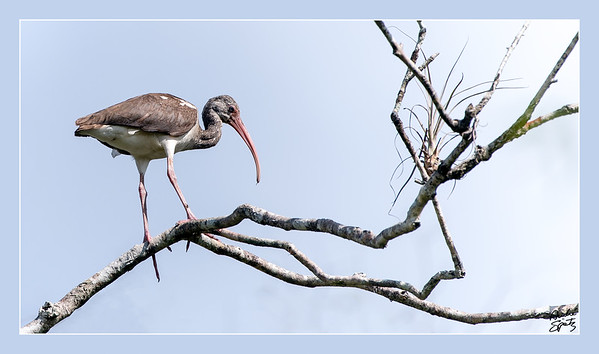 White Ibis - Young