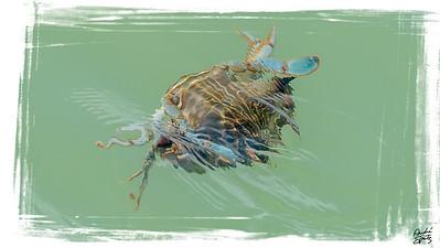 Swimming Blue crab