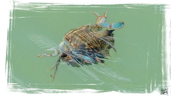 Swimming Blue crab