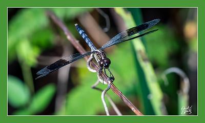Eastern Pondhawk (Dragonfly)