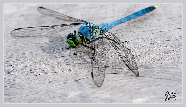 Lunch for the dragonfly