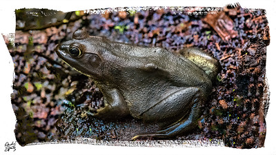 Pig Frog from the Corkscrew Swamp