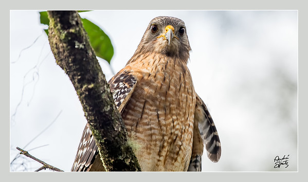 Red-shouldered Hawk at the Corkscrew Swamp Sanctuary