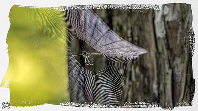 Black and Yellow Argiope spinning a spiral web