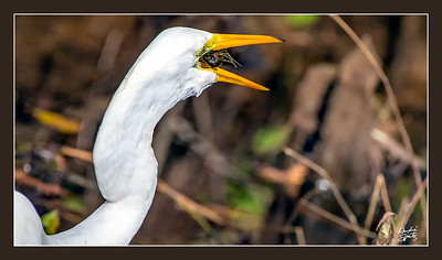 The Great Egret and the Crayfish at the Corkscrew Swamp Sanctuary