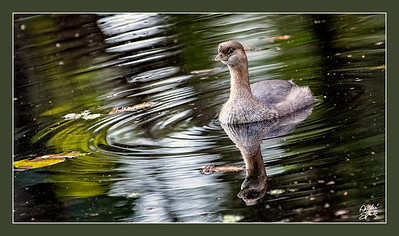 Pied-billed Grebe at the Corkscrew Swamp Sanctuary