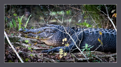 14Ft Alligator at Corkscrew Swamp Sanctuary