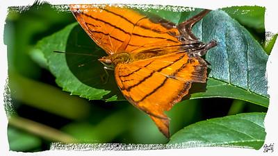 Ruddy Dagger Wing butterfly