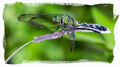 Resting Dragonfly