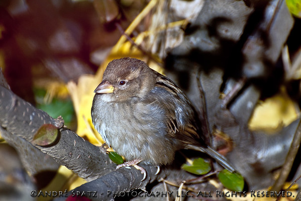 Sparrow - Central Park, Manhattan