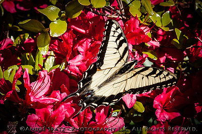 Eastern Tiger Swallowtail (Papilio glaucus)  Butterfly.